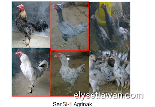 contoh bahan pakan untuk ayam kampung unggul