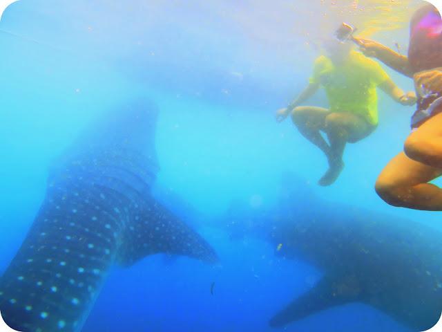 Hiu+Paus+Whale+Shark+Gorontalo