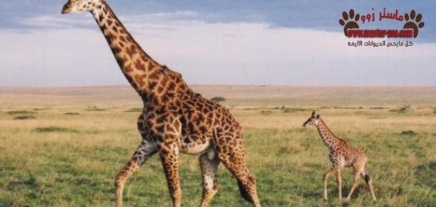 الزرافة وعاداتها الغذائية ولماذا سميت بهذا الأسم  Giraffe ؟