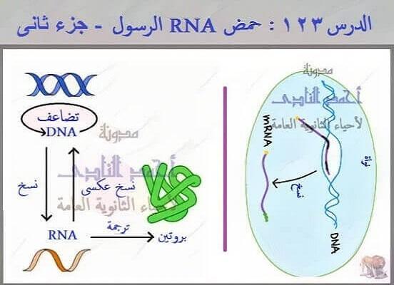 حمض RNA الرسول (m-RNA ) - الثالث الثانوى