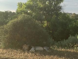 leijona, uros, mashatu, botswana, safari, riitta reissaa