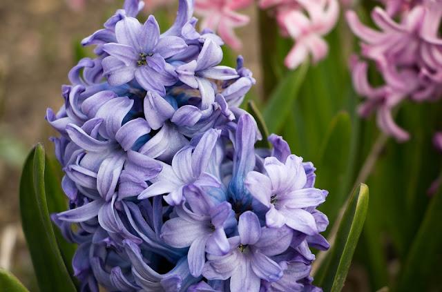 hyacinth.jpg