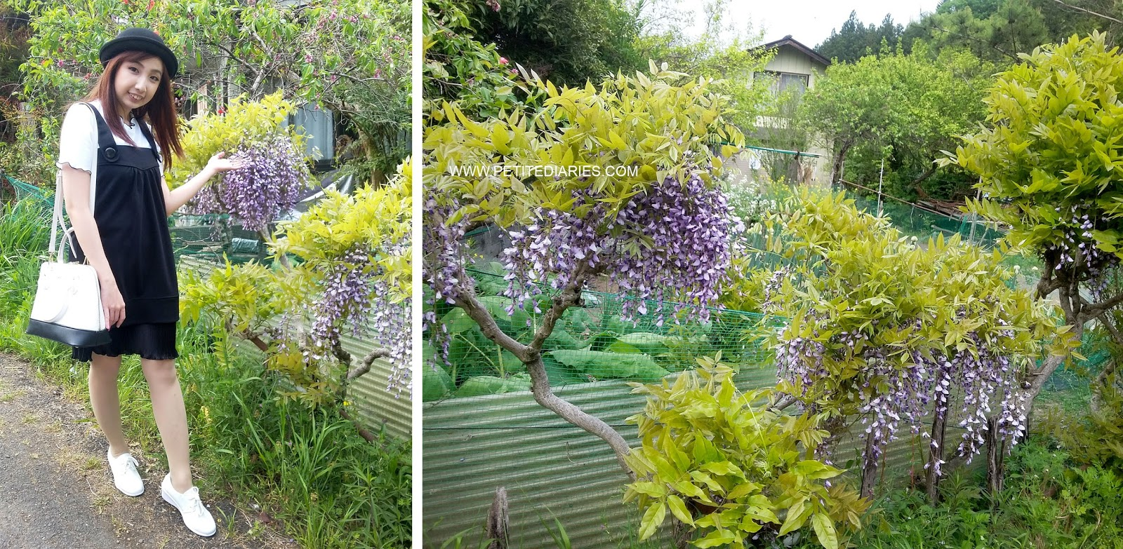 wisteria flower in japan