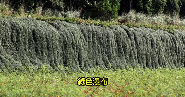 龍井綠色瀑布秘境|越橘葉蔓榕就像傾瀉而下的瀑布|近龍井交流道
