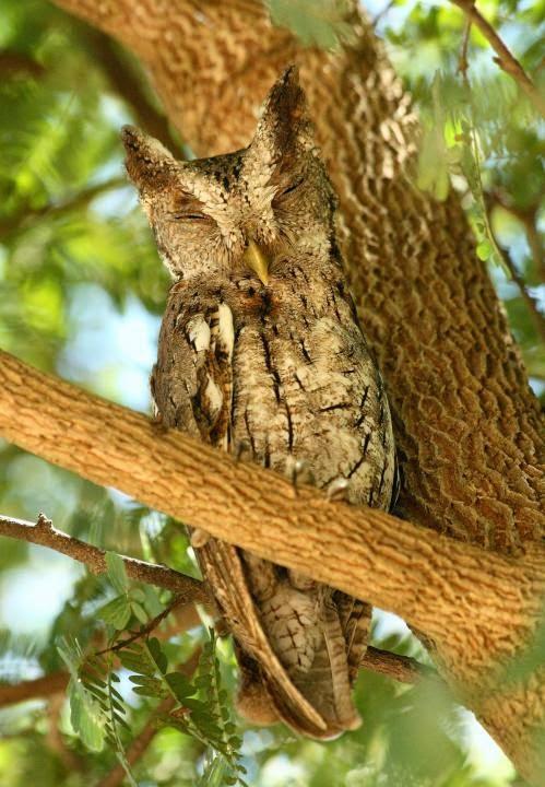 Autillo de manglar: Megascops cooperi
