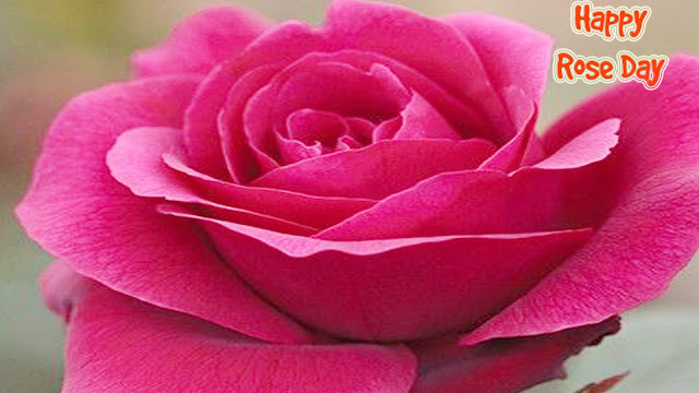 Lovely-Rose-wallpaper-for-rose-day-wallpaper