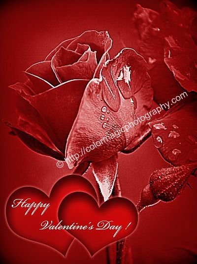 Valentines card-Rose with raindrops and two heards