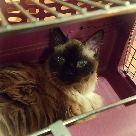 image of Matilda the Fuzzy Sealpoint Cat in her crate at the vet's office