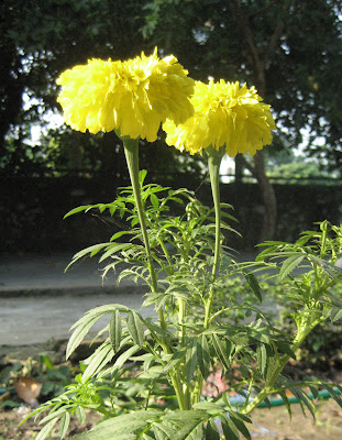 Yellow colored Marigold