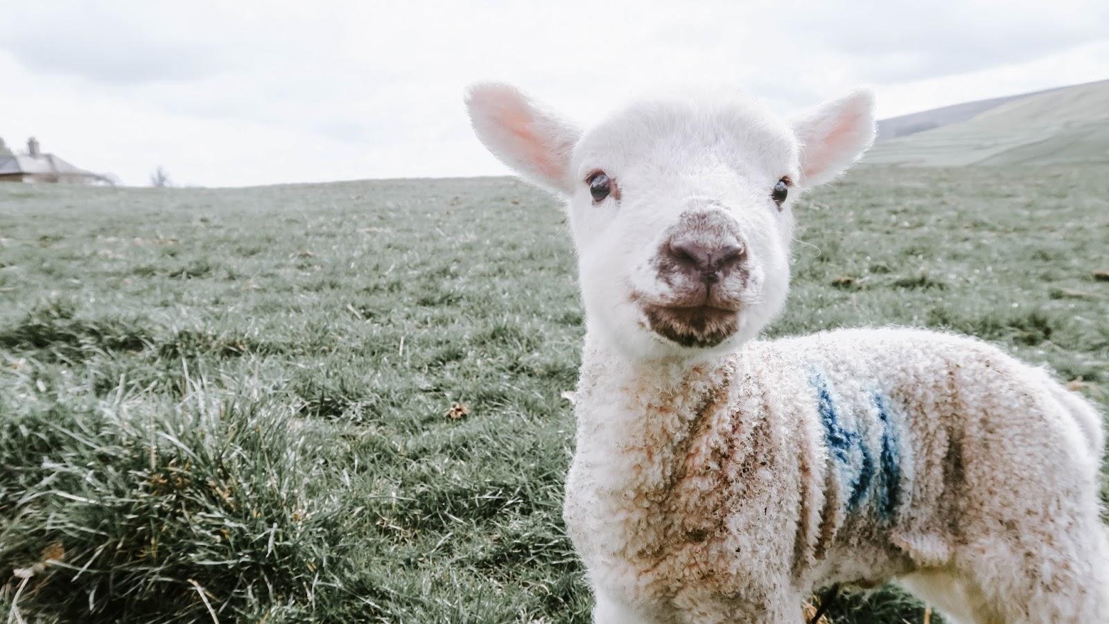 brand new lamb