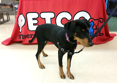 Penny graduated from her #Petco puppy class! #DogTraining ©LapdogCreations