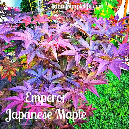emperor Japanese maple
