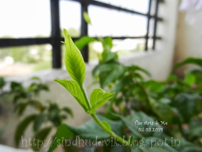 Shankarapura Jasmine Tender Leaves