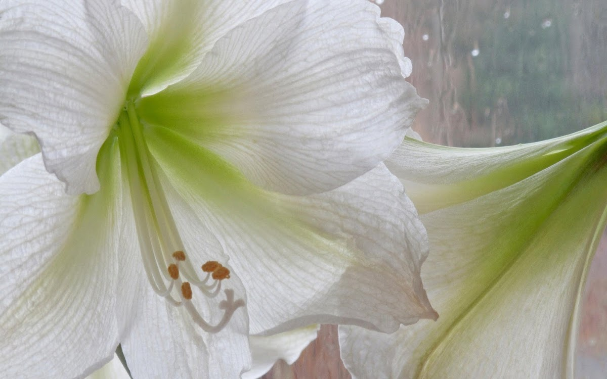 White Flowers Widescreen HD Wallpaper 2