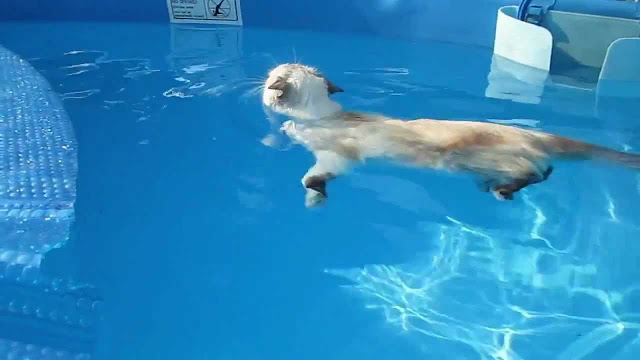 Cat swimming like a boss