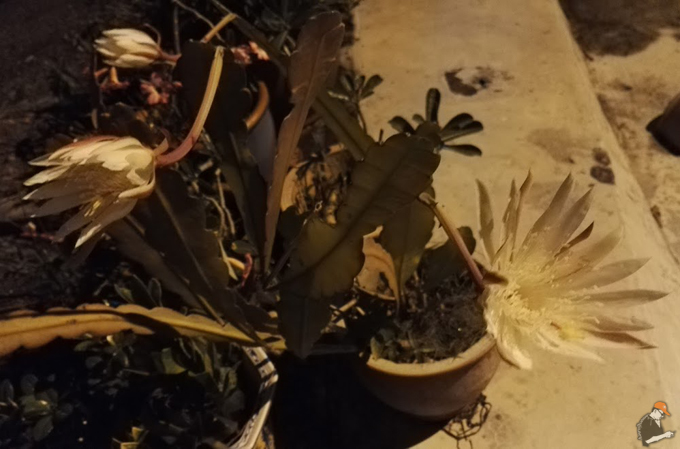 Kisah kisah mistik di sebalik misteri Bunga Bakawali