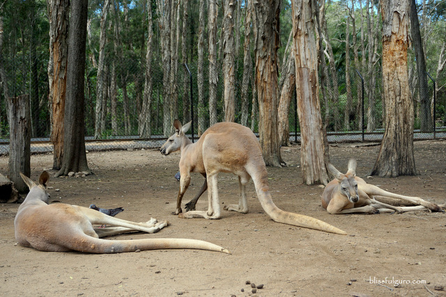 Kangaroo Sanctuary Australia