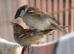Cara Mengawinkan Burung Kenari Dengan Mudah