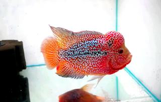 Jenis ikan louhan Kamfa f3 Bahan Kontes