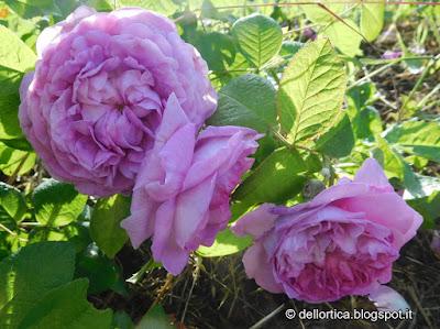 rosa gallica Ipsilante Ypsilanti confettire cinorrodi petali per tisane lavanda ghirlande sali aromatici orto ed altro alla fattoria didattica dell ortica a Savigno Valsamoggia Bologna in Appennino vicino Zocca