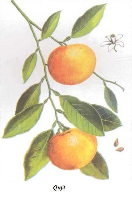 Quýt (Quít) - Citrus deliciosa - Nguyên liệu làm thuốc Chữa Bệnh Tiêu Hóa