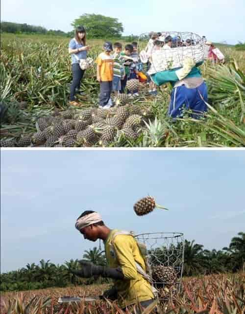 Nictar Bee pineapple farm - The pineapple picking expert