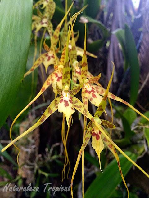 Brassia caudata, sus flores