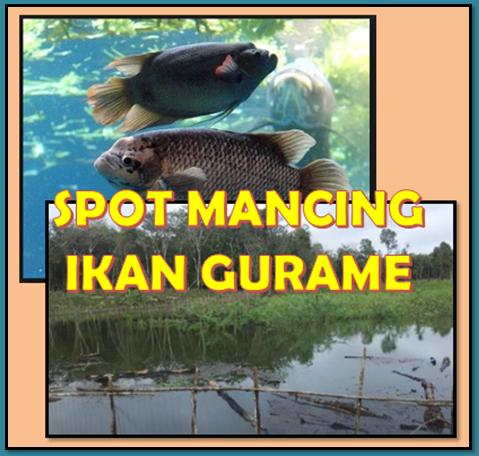 Tips Sukses Mancing Ikan Gurame Anglers Wajib Tahu Aliems Journey