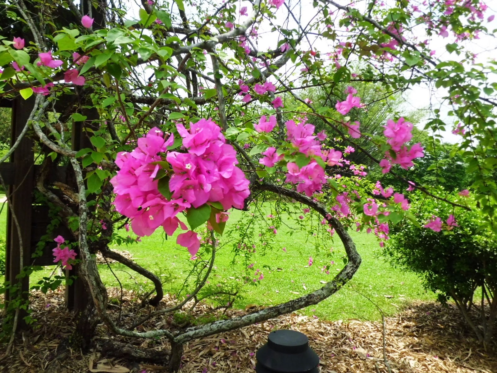 Pink Bougainvillea flower giving a cool, tranquil and peaceful environment.