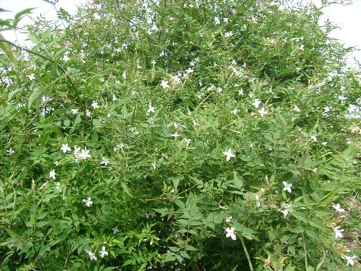 ma plan te jardin le jasmin un arbuste sarmenteux au parfum suave. Black Bedroom Furniture Sets. Home Design Ideas