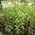 Jual Tanaman Herbal Stevia Harga Murah