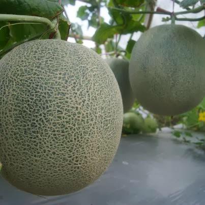 Arashi, Anti Layu, Anti Busuk Buah, Tanaman Melon