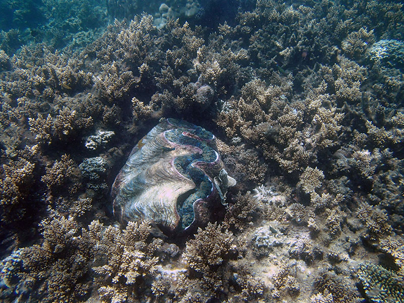 giant clam on great barrier reef frankland islands
