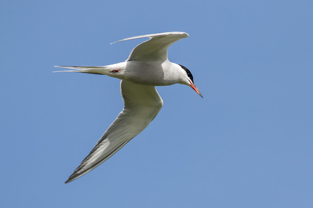 Common Tern Flight