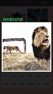 в клетке находится тигр в неволе, другой стоит рядом