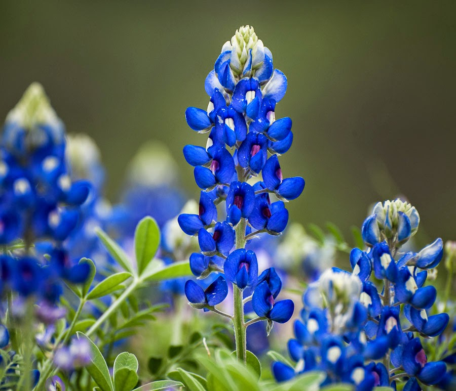 Heroes, Heroines, And History: State Flower Of Texas