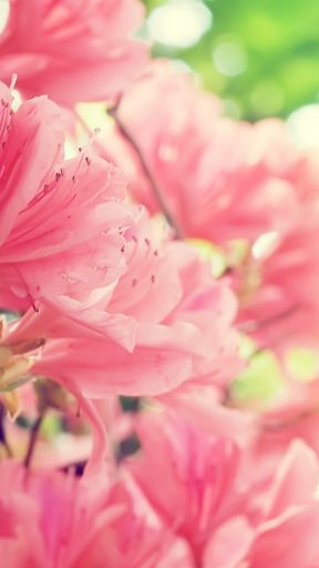 pink flower background for whatsapp