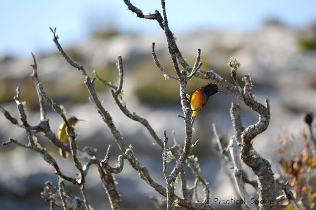Male and female orange breasted sunbirds in the fynbos