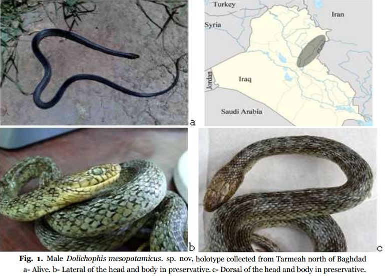 Species New to Science: [Herpetology • 2016] Dolichophis