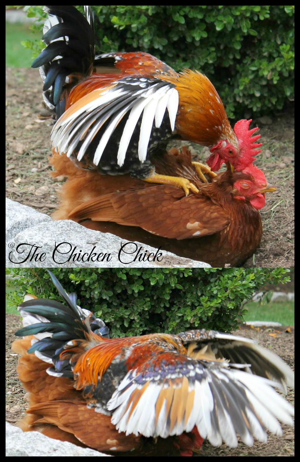 Bantams roosters (small breeds) can successfully mate with large fowl hens.