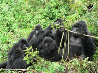 Gorillas are social animals living in families
