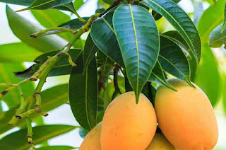 Unexpected Benefits of Mango Leaves for Health