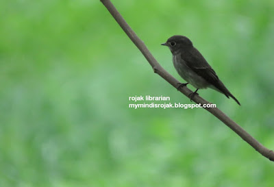 Dark-sided Flycatcher in Bidadari