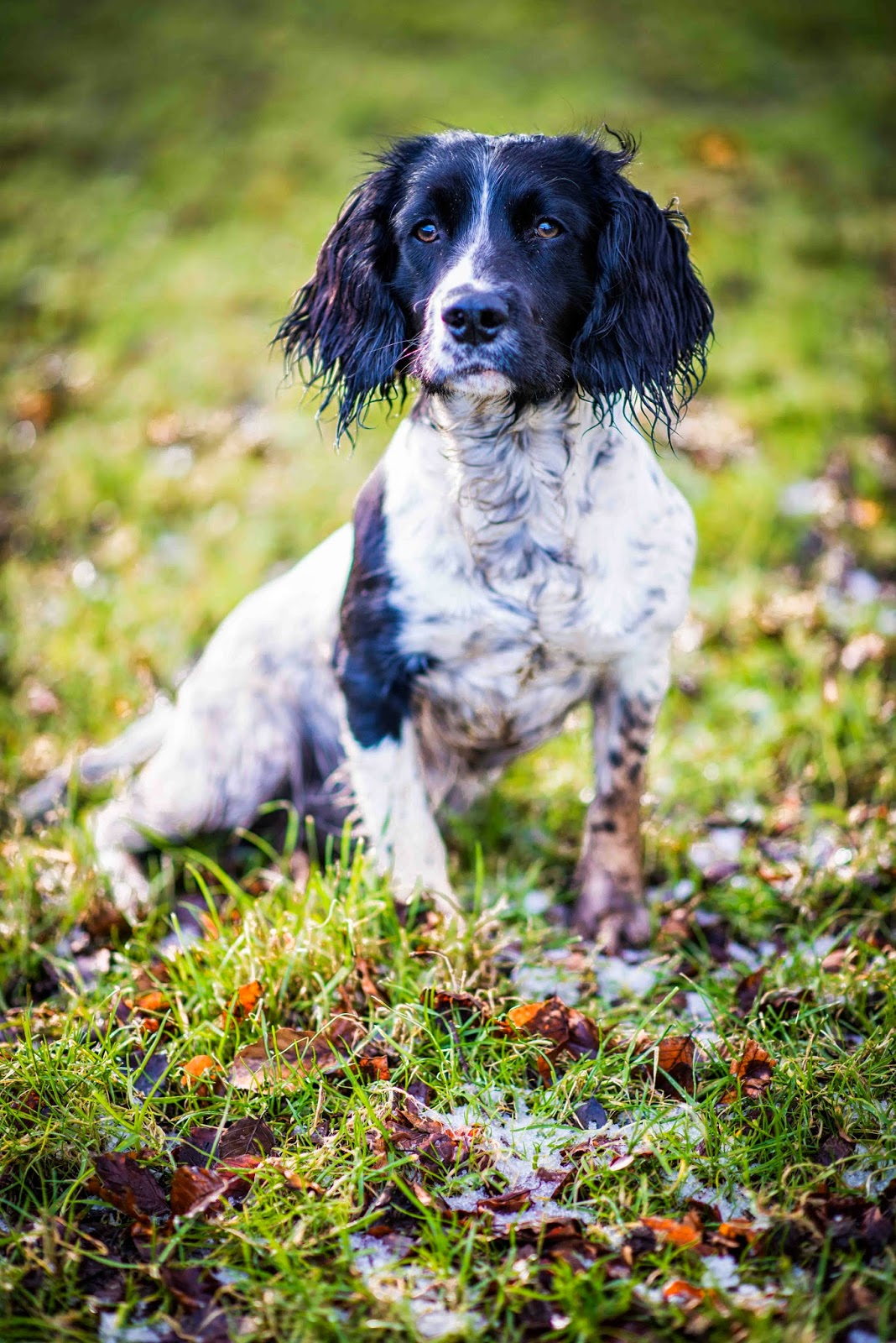 springer spaniel dog puppy liquidgrain liquid grain