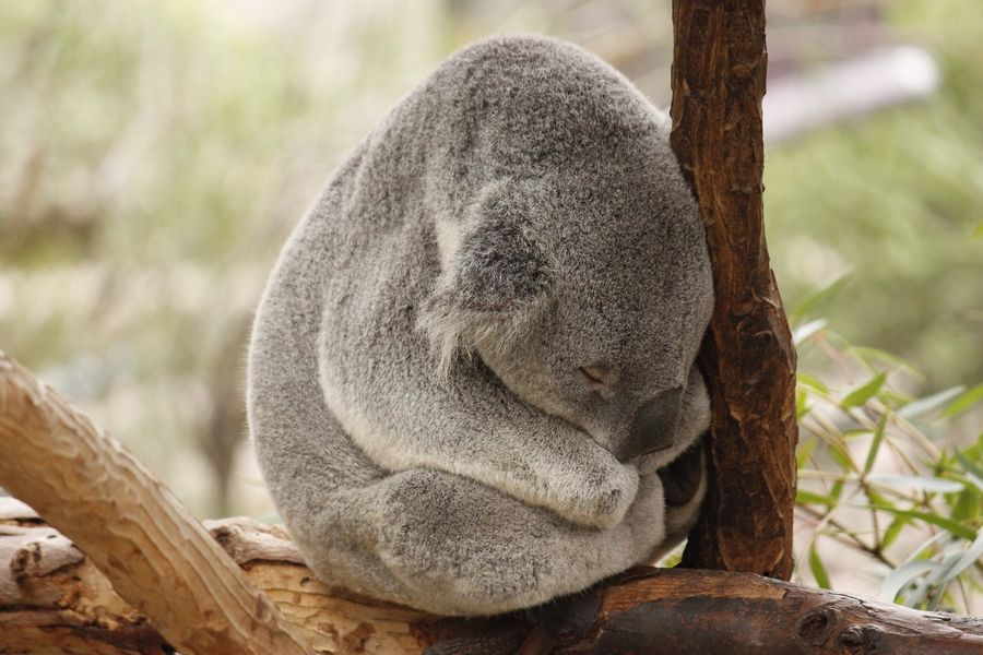 Sleeping Koala by Eaton Zhou