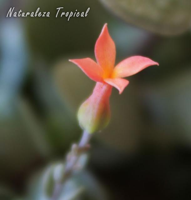 Flor característica de la planta Kalanchoe rotundifolia