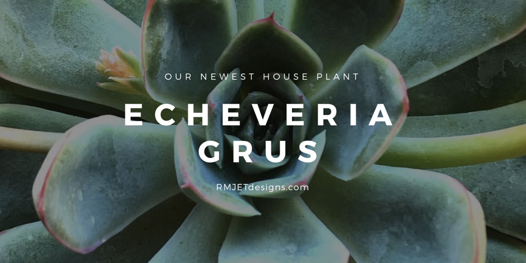 Echeveria Grus - Our Newest Houst Plant