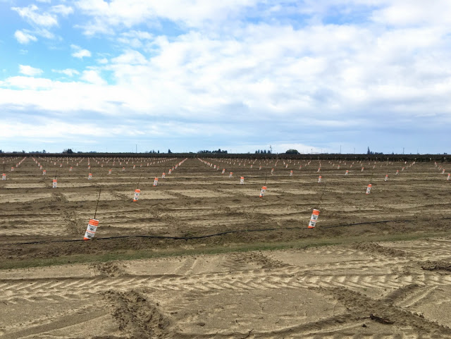 how are orchards planted straight?