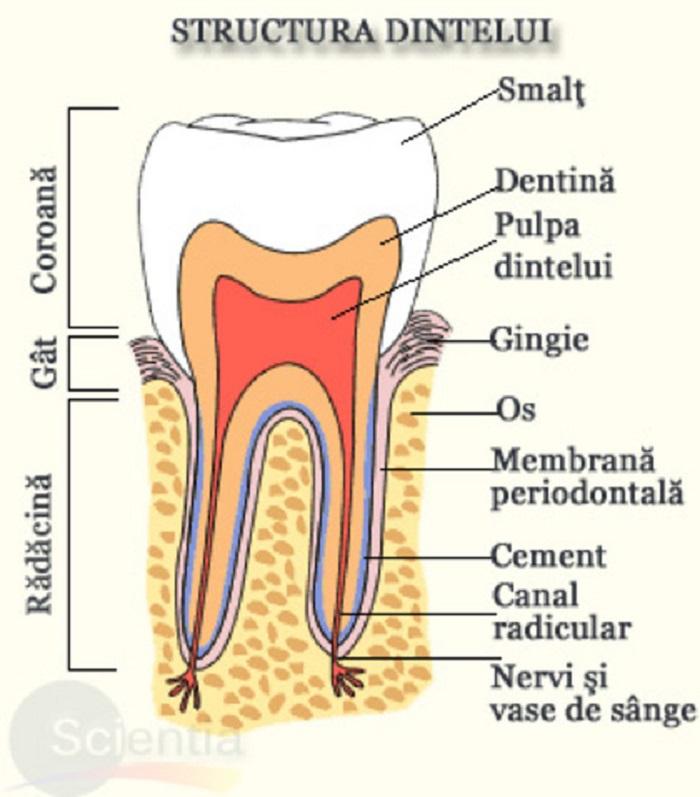 Câţi dinţi are un om: cum este structurat un dinte Foto: scientia.ro