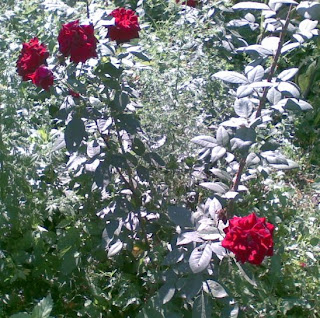 roses planted in full light